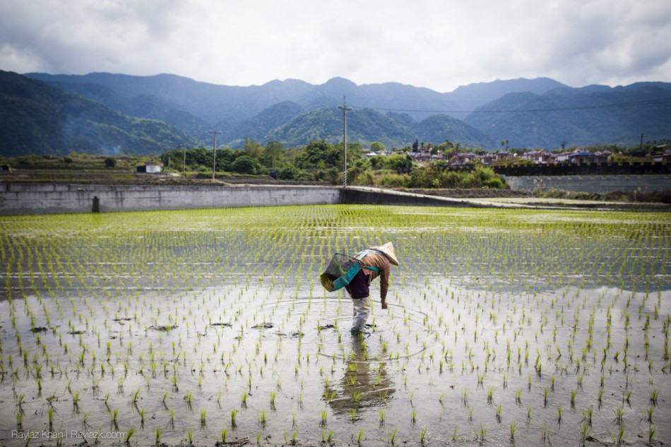 A worker planting rice in a rice field